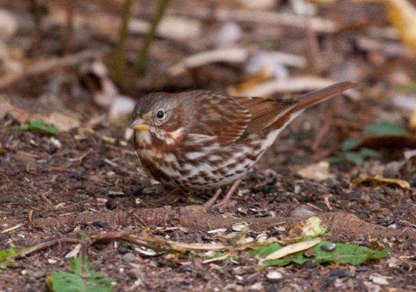 Fox Sparrow on Kinney Valley Road
