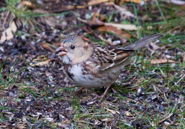 Harris's Sparrow on Kinney Valley Road
